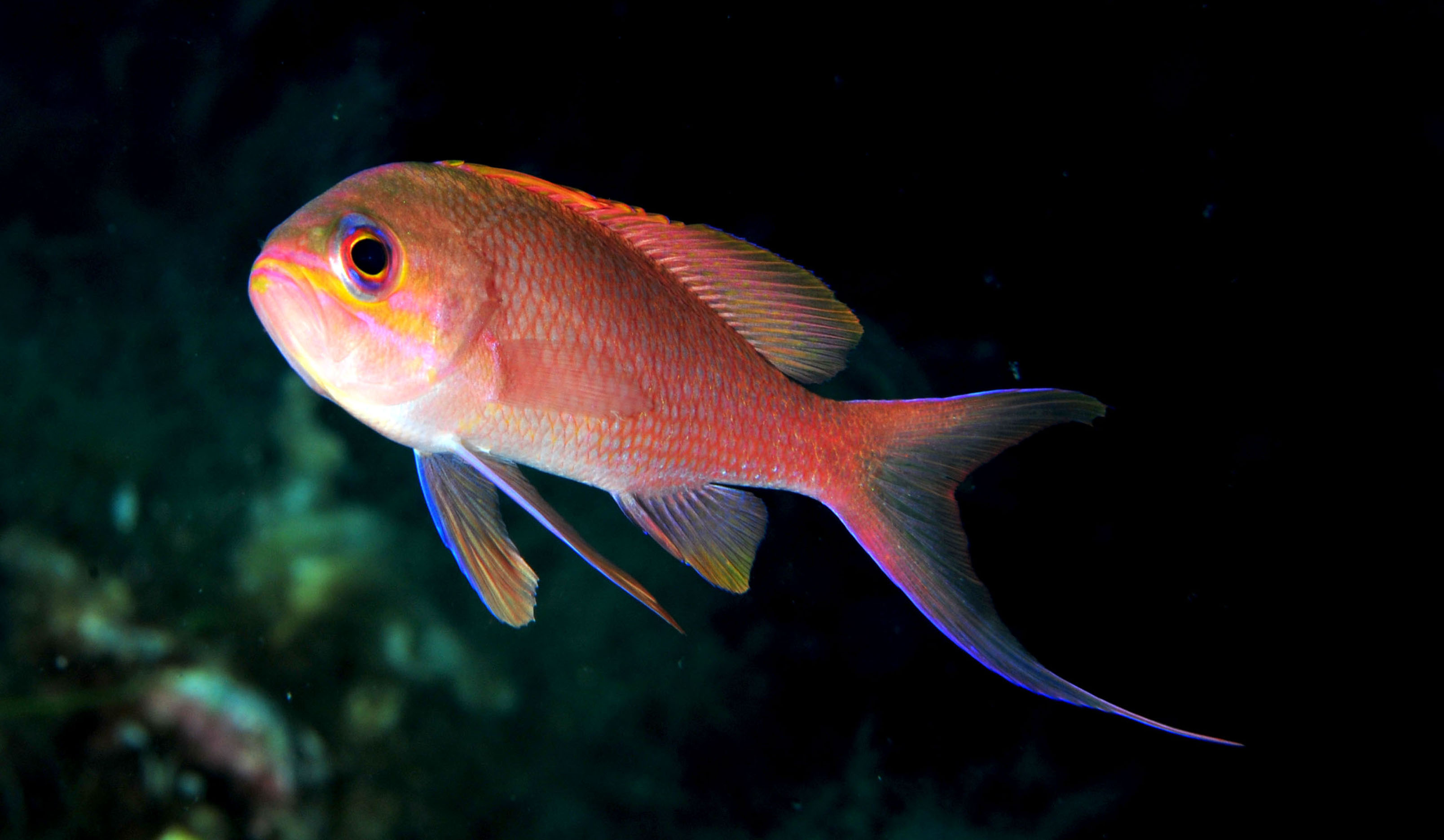 ANTHIAS-ANTHIAS-Castagnola-rossa La castagnola rossa (Anthias anthias)