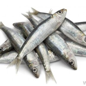 sardines-against-white-background
