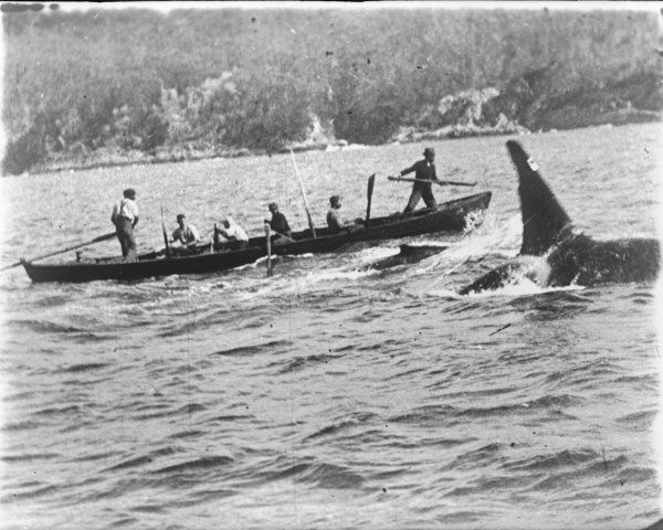 Killer_whale_Old_Tom_and_whalers_-_original Orche : la famiglia prima di tutto