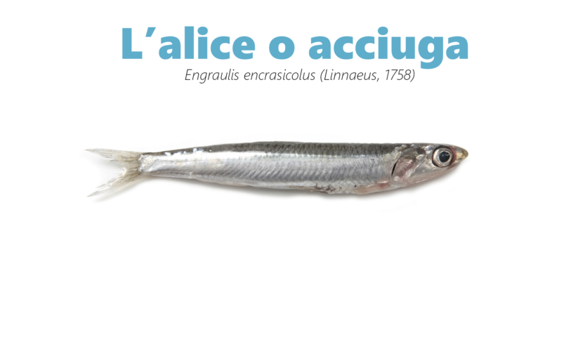 Alice, acciuga,