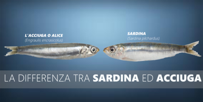 la differenza tra sardina e acciuga