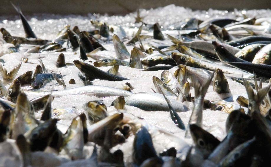popolazione di sardine