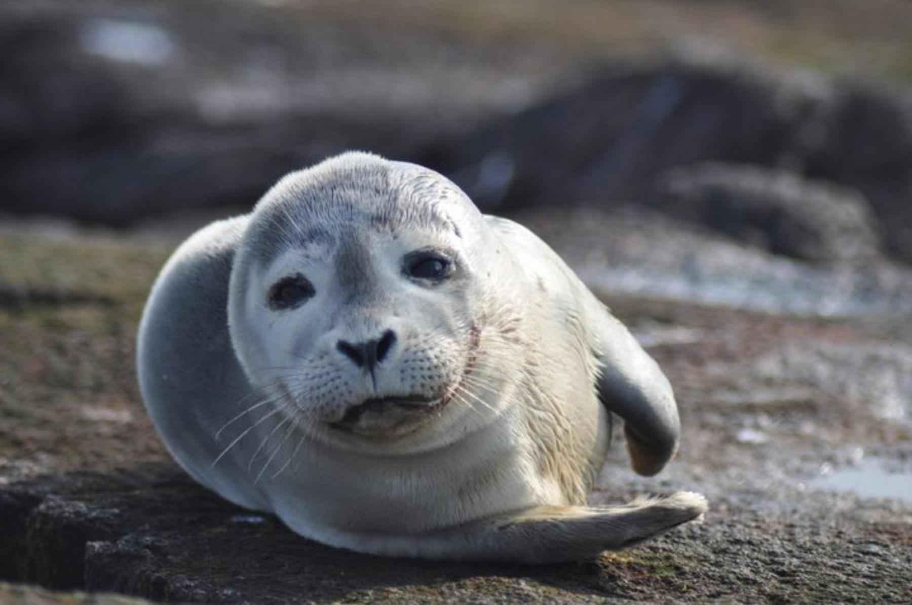 cuccioli di foca riprendono il mare