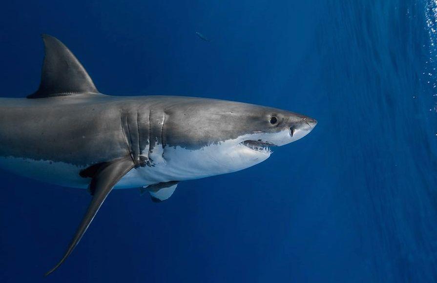 Dimensioni grande squalo bianco