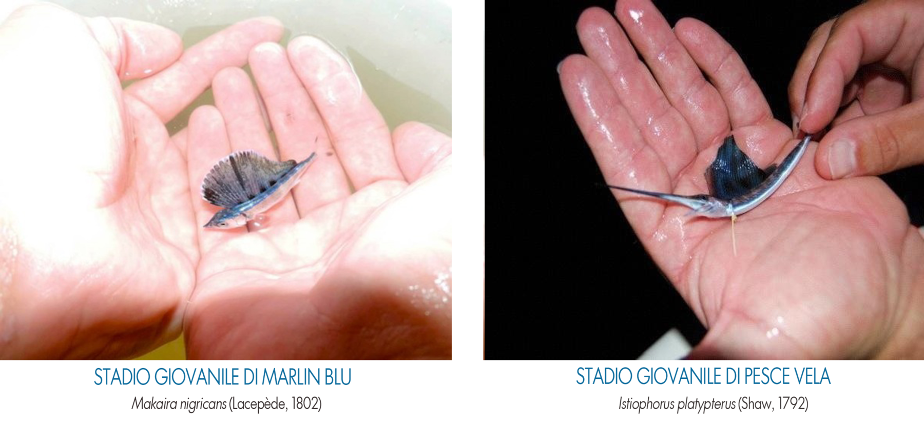 differenza tra marlin blu e pesce vela