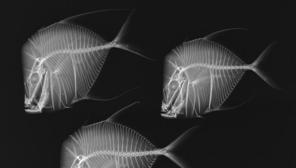 pesci-ai-raggi-x-1-1021x580 Pesci ai raggi X