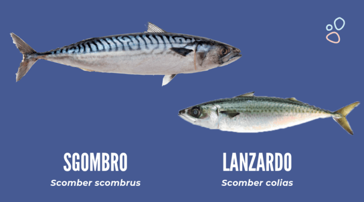 Differenza tra scombro e lanzardo