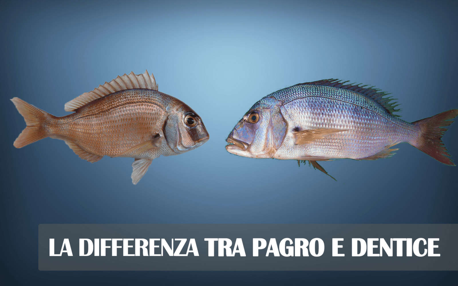 La differenza tra dentice e pagro - Come cucinare il dentice ...